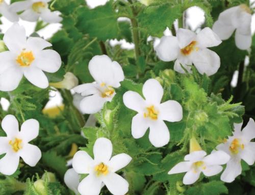 Bacopa: una planta que no debes olvidar
