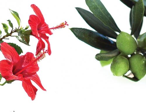 La combinación de hibisco y olivo es eficaz para combatir la hipertensión