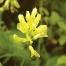 Planta astragalus