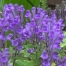 Planta escutelaria